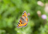 Mariposa roja almirante — Foto de Stock
