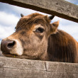 Young calf standing behind wooden fence — Foto Stock #6074088