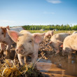Many cute pigs on a pigfarm - Stock Photo