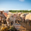 Many cute pigs on pigfarm — Stock Photo #6074111