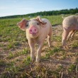 A young pig standing on a field — Stock Photo