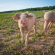 Young pig standing on field — Stock Photo #6074114