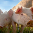Two small pigs in the shade — Stock Photo #6074125