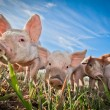 Three small pigs standing on a pigfarm — Stockfoto