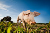 Young pig walking on a field — Stock Photo