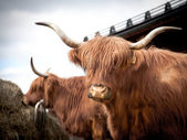 Long horned cow — Stockfoto