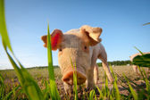 Shy young pig behind a grass straw — Stock Photo