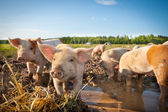 Many cute pigs on a pigfarm — Stock Photo
