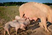 Some cute young pigs feeding on mom — Stock Photo