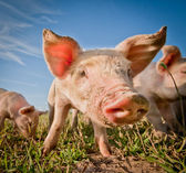 Cute pig — Stock Photo