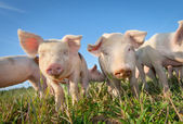 Two cute pigs — Stock Photo