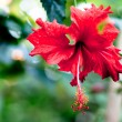 Red flower — Stock Photo #6632487