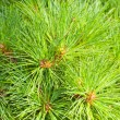 Stock Photo: Close-up of pine tree.