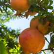 Ripe pomegranates on the tree. — Stock Photo