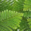 Stock Photo: Evergreen coniferous leaves
