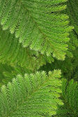 Evergreen coniferous leaves — Foto Stock