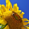 Sunflower with bee in a sunny day — Stock Photo