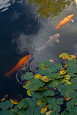 Three koi in the pond — Foto Stock