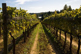 Vineyard on a sunny day — Stock Photo