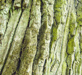 Oak tree rough bark with moss texture — Stock Photo