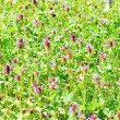 Stock Photo: Meadow with blooming clover
