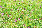 Meadow with blooming clover — Stock Photo