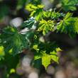 Translucent maple leaves — Stock Photo