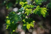 Translucent maple leaves — Stock Photo