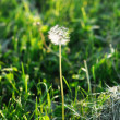 Dandelion — Stock Photo #6293549