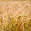 Fresh barley — Stockfoto