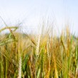 Barley — Stock Photo #6085471