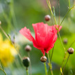 Poppy — Stock Photo #6085529