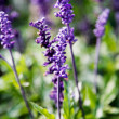 Lavender — Stock Photo #6085703