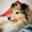 Sheltie — Stock Photo