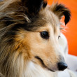 Stock Photo: Sheltie
