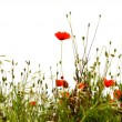 Red poppies — Stock Photo #6085962