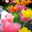 Tulips — Stock Photo #6086003