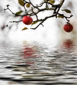 Jabloň — Stock fotografie