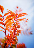 Sorbus in beautiful red colour — Stock Photo