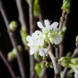 Cherry blossom — Stock Photo #6109314