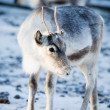 Reindeer — Stock Photo #6109333