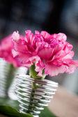 Dianthus — Stock Photo