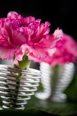 Dianthus — Stock Photo