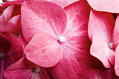 Pink hortensia — Stock Photo