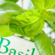 Basil — Stock Photo #6285827