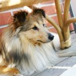 Sheltie - Stock Photo