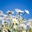 Daisies — Stock Photo #6286526