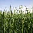 Stock Photo: oatfield