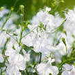 White flowers — Stock Photo #6286799