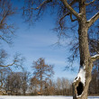 Maple tree in winter — Stock Photo